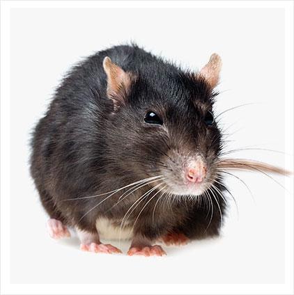 fiche_rat.jpg